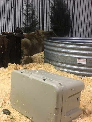 """Brutus naps after one of several attempts to reach treats inside a Yeti cooler; advertised to be """"bear-proof."""""""