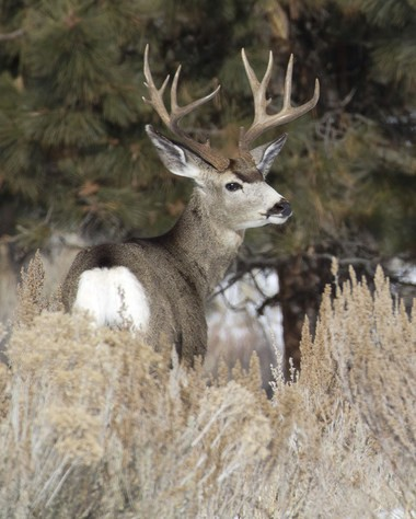 Mule deer survival was mixed last winter across Eastern Oregon.