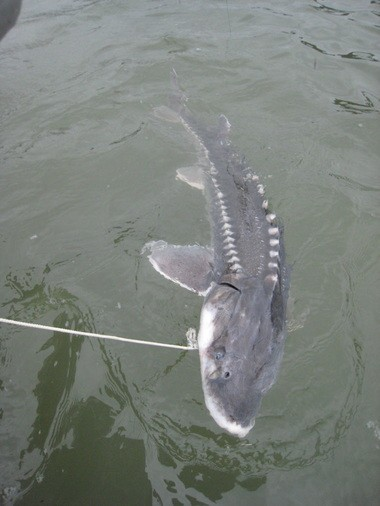 Sturgeon anglers should avoid fishing in the Columbia River below the railroad bridge between Oregon and Vancouver, Wash., for 48 hours because of a sewage spill.