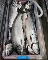 Coho salmon in the ocean are averaging larger than usual for this early in the season.