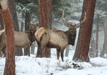 Elk enjoyed a mild winter across Oregon and bull numbers are up in some game management units.
