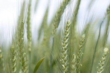 Oregon's wheat exports may be threatened by discovery of genetically-engineered plants in an eastern Oregon field.