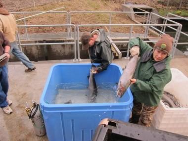 Oregon Department of Fish and Wildlife employees Charles Baker (left) and Darlene Krake sort winter steelhead for breeding at the Sandy Hatchery.