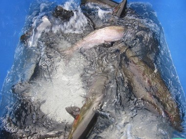 Winter steelhead that return to the Sandy Hatchery on Cedar Creek are anesthetized in a large plastic tub for about five minutes before they are sorted. Wild fish are returned to Cedar Creek to spawn upriver; hatchery fish are put in holding ponds for eventual breeding.