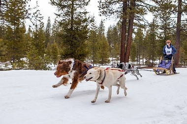 Willow, Cowboy and Mukluk take Dinah Patten, a Cascade Sled Dog Club member, for a ride.