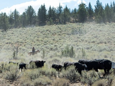 This isn't the same cattle drive that caused a re-route of Cycle Oregon, but it was nearby off Steens Mountain Road on the same day.