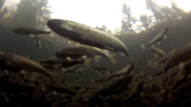 Spring chinook smolts at the Sandy Hatchery.