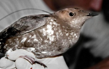 This undated image shows an endangered marbled murrelet.