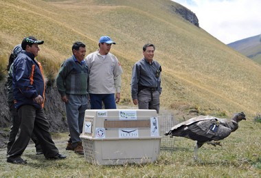 A young Andean condor released in Ecuador last summer was found shot dead this month.