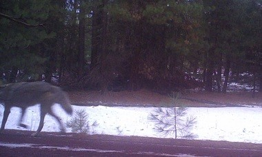 A remote camera image taken Jan. 5 shows a gray wolf in the Keno Unit, which is located in the southwest Cascades near the California border.
