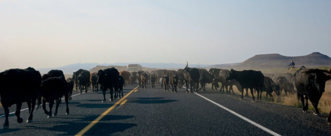 So ubiquitous are cattle in Harney County, it's not uncommon to be stopped on the highway by a herd of cattle and the cowboys and ranch dogs who steer the herd.