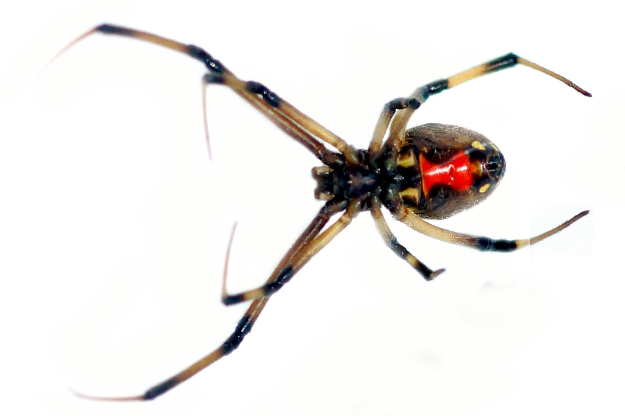 Beware New Venomous Spider Spotted In Oregon Oregonlive Com