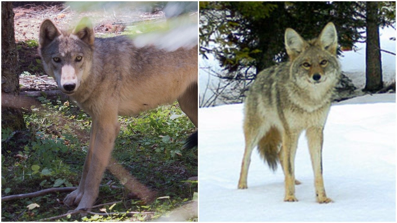 Is that a wolf or a coyote? Oregon wildlife agency tests