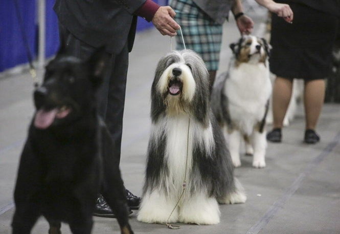 Best of Herding variety judging at the 2016 Rose City Dog Show.