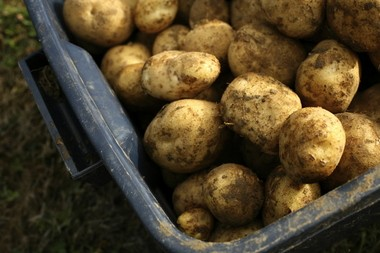 Freshly dug potatoes are among the items you're likely to receive when you buy a CSA subscription.
