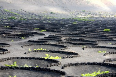 This lunar landscape is a vineyard on the island of Lanzarote, in the Canary archipelago off Africa. The vines grow in hoyos, holes that collect dew and protect from strong winds.