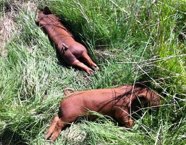 Friends of Family Farmers wants farm animals to lead more natural lives, including napping in the sun.
