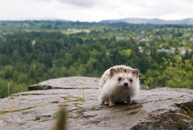 Biddy the hedgehog, pictured here at the Lewis and Clark State Recreation Site in Troutdale, Oregon, became an internet sensation when his owners Toni DeWeese and Tom Unterseher started an Instagram account with photos of him on hikes and outings in the northwest. DeWeese and Unterseher have owned Biddy since January 2011, when they bought him from a breeder in Washington. Molly J. Smith/The Oregonian