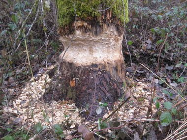 Beavers can be ambitious, shown in this rather large tree girdled by the large rodents just up the bank from a beaver-formed pool on Johnson Creek.