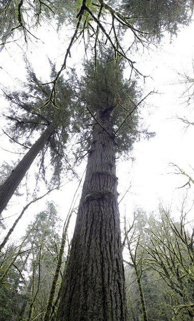 A 242-foot Douglas fir in Balch Creek canyon in Portland's Macleay Park is thought by some local tree experts to be the tallest tree in Portland.