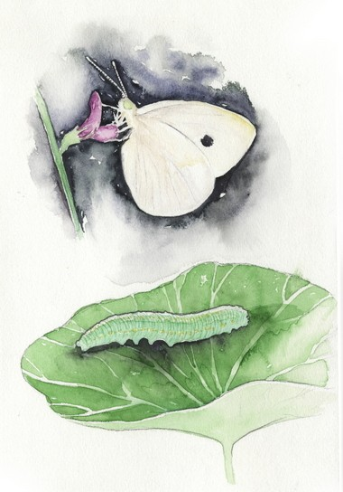 IMPORTED CABBAGE WORM (with adult cabbage white butterfly)