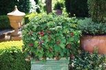 Raspberry Shortcake raspberry