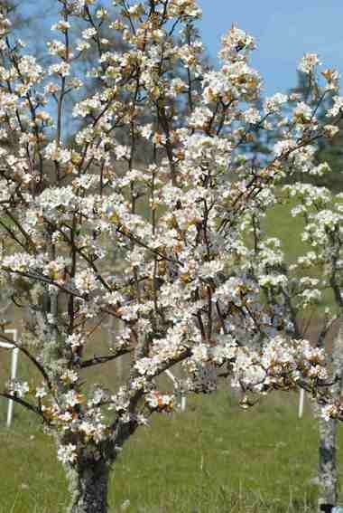 Planted as bare root trees, these Asian Pear trees bloom abundantly in spring.