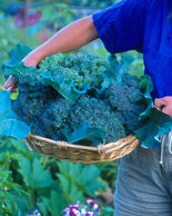 Broccoli and other vegetables grown for their stems, buds, or flowers can be grown in partially shady sites receiving four to six hours of sun.