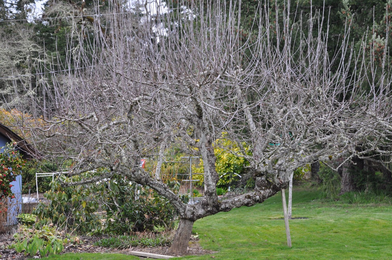 Tips To Properly Pruning Fruit Trees Osu Extension Workshops Ask
