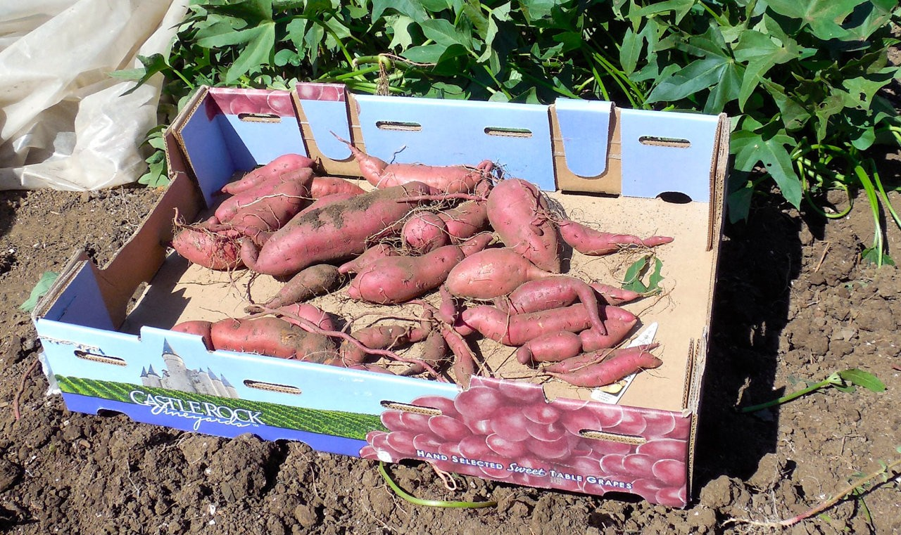 10 tips to growing sweet potatoes: Get the soil hot