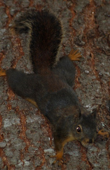 This Douglas (brown) squirrel, a native to the Pacific Northwest, has found