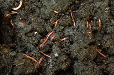 Red worms wriggle in the rich compost that was just dug out from a worm bin.