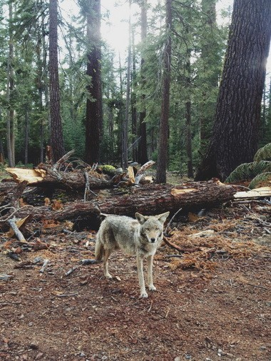 A three-legged coyote stands alongside the road in Yosemite National Park