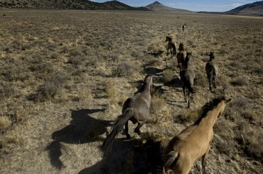 Kiger Mustangs sprint toward their home ground on Riddle Mountain in southeast Oregon in October 2007 after Bureau of Land Management workers released them from a horse trailer to the wild.