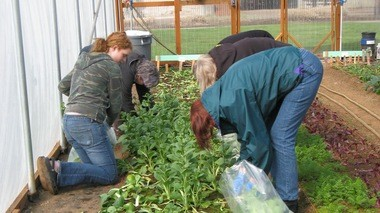 Horticulture students harvest lettuce at Clackamas Community College.