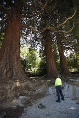 Dave Wooton of Eagle Creek was working in the neighborhood and came to look up into the canopy of the trees. Neighbors in the Eastmoreland area are trying to save three massive sequoia trees from being cut down to make way for construction, June 23, 2015. The trees, roughly 150 years old, are on two lots near SE 36th Ave. and Martins St. in Portland, where Everett Custom Homes was planning to build two homes. Kristyna Wentz-Graff/Staff