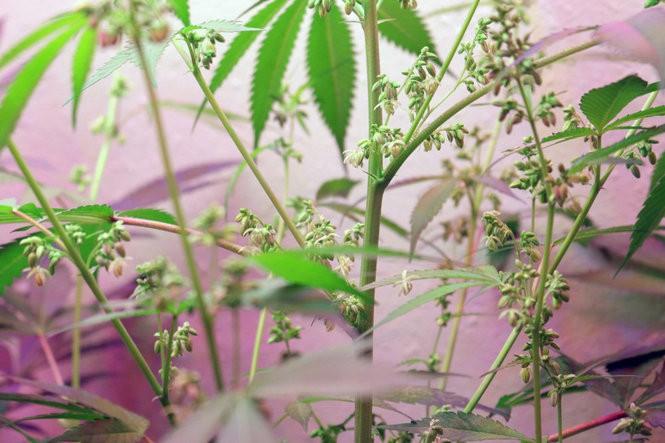 The Oregonian's male marijuana plant: Boy trouble | Pot Grow Diary