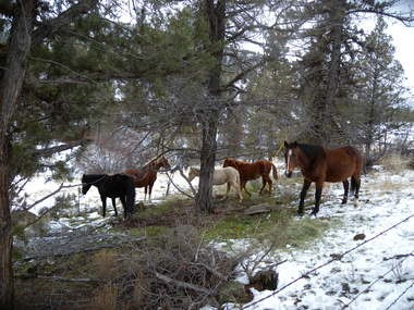 A small group of half-wild horses munches hay left by a landowner along Alder Creek in Wheeler County. At least 22 ownerless horses roam this area, and the actual number may be closer to 50, neighbors said.