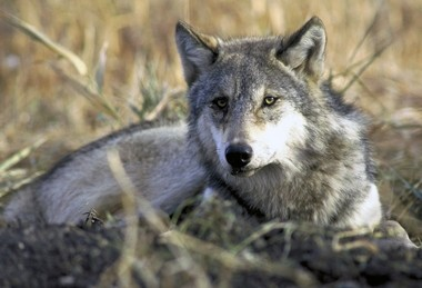 A gray wolf rests in tall grass.