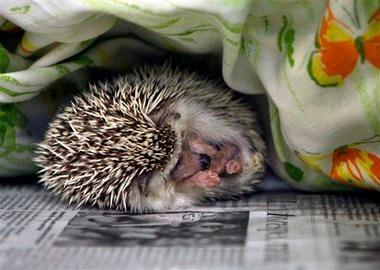 A hedgehog sleeps at the SPCA in Largo, Fla., in January. In the last year, 20 people were infected by a rare but dangerous form of salmonella bacteria, and one person died. Investigators say the illnesses were linked to contact with hedgehogs kept as pets. Health officials on Thursday say such cases seem to be increasing.