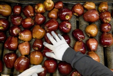 Many popular varieties of apples, such as Fuji and Gala, are susceptible to fire blight.