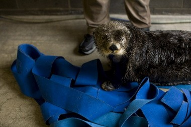 This photo was taken as Aialik the sea otter began to wake up from ground-breaking surgery. The surgery was performed by Dr. Steven Brown and Dr. Bernard Seguin.