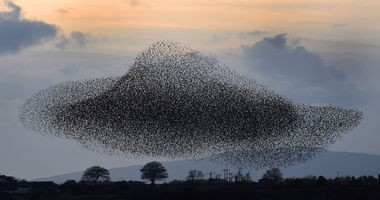 "Starlings put on a murmuration display near the town of Gretna, Scotland, on Nov. 6, 2014. While the flock might give the impression of starlings being plentiful, across Europe starlings and other common bird species have experienced a sharp decline in their numbers in the past 34 years. To watch starlings flying in a murmuration, or a massive flock, in southern England, check out the video below featuring Dylan Winter, who has been a BBC wildlife and environment reporter and cameraman and who worked on the film ""Flight: The Genius of Birds."""