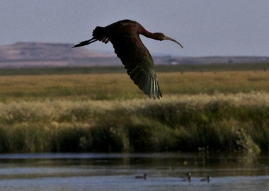 A white-faced ibis takes flight at Malheur National Wildlife Refuge. The waters of Malheur Lake and nearby waterways have drawn waterfowl in breath-taking numbers for thousands of years.