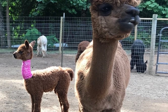 aeb1dc996bf71 WATCH: Alpaca mom rescues baby from cougar attack - oregonlive.com