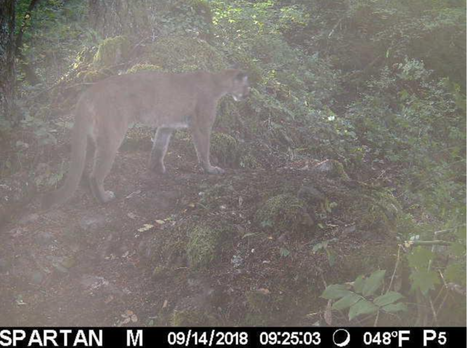 Cameras along the Hunchback Trail in the Mount Hood National Forest capture an image of a large cougar on Sept. 14.