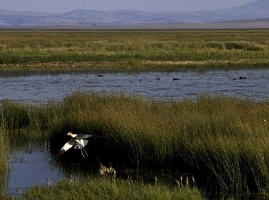 An American avocet launches out of dense marsh grasses along the edge of Malheur Lake. The shallow lake attracts a wide spectrum of migrating waterfowl, wading birds and shorebirds. Controversy over how, and whether, the federal government should manage the land and water to protect birds has raged for more than 125 years.