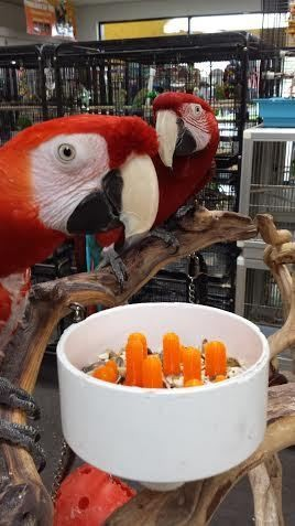 A parrot eats from a Food Bowl Forager designed by Kelly Ballance.