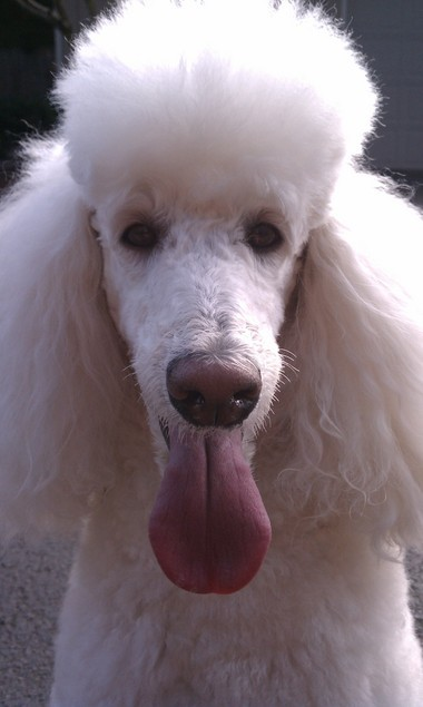 Coco, a white standard poodle, was sickened after consuming marijuana she found at a park on Sunday.