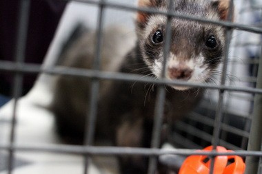 The Oregon Ferret Shelter has about 100 ferrets available for adoption right now.